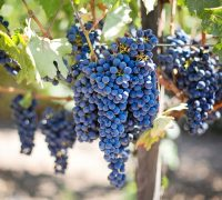 15 Grape Seed Extract Benefits