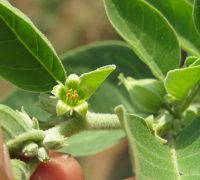 Ashwagandha: When Is The Best Time To Take It?