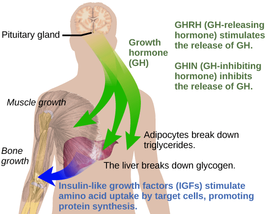 how HGH interacts with Insulin (diagram)