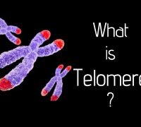 How We Age: The Effects Of Telomeres And Telomerase